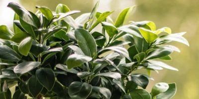 Gruenpflanze_Ficus